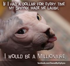 If I had a dollar for every time my sphynx  made me laugh, I would be a millionaire! | http://www.facebook.com/OwnedByASphynx