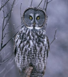 Looks like an owl that was staring at me through my window a few years ago