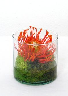 """TT1064  Orange Protea with Chartruese Reindeer Moss in Short Glass Cylinder with Resin 4""""H x 4""""W x 4""""D"""