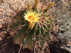 A beautiful bloom to brighten your Monday! Ferocactus emoryi v. rectispinus.