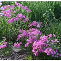 Phlox pilosa, http://nsaplants.org/hepaacut.html?SID=7e8dfhd07cecsvp4lo8m1jnab6 wildflowers, pink flowers, flower perenni, tall pink