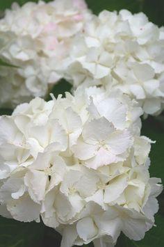 {Bridal Bouquet} White hydrangea