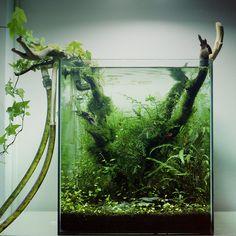 Cube Renaissance par Gaëtan. #aquascaping #aquarium