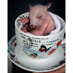 Rupert, a three-month-old wombat joey, sits in a teacup at the Healesville Sanctuary, Victoria, Australia. He was rescued from his mother's pouch when she was killed by a car.