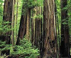santa cruz, california red woods