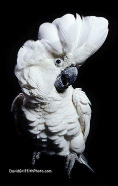 Dramatic cockatoo (Umbrella Cockatoo)