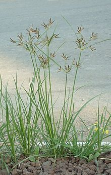 Nutgrass (Cyperus rotundus) Purple nut sedge, found in Florida and other hot, dry places.