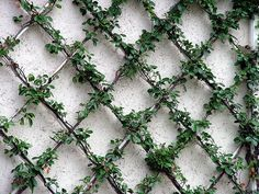 Lattice Wall | The Garden