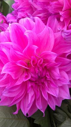 Dahlias   Pretty in Pink