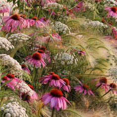 Has coneflower EVER