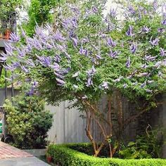 Vitex tree for the backyard.