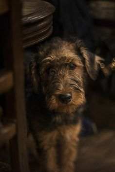 airedale terrier (by edoardo lovato) This reminds me of my first dog Takia.