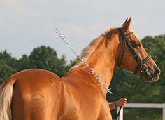 Akhal Teke Stallion - Koublet