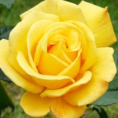Radiant Perfume  This grandiflora rose's name says it all! The big, golden-yellow blooms bear a wonderfully intense citrus scent. Thanks to their long stems, the flowers are perfect for cutting and adding sunshine indoors.
