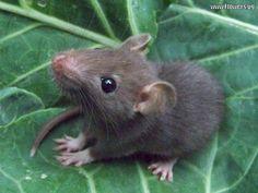 baby rat - squeeee