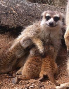 Meerkats.  I need one.