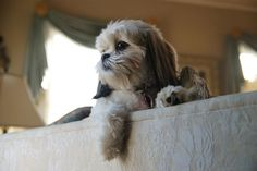 Adorable Shih Tzu.