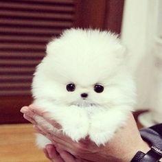 white pom.
