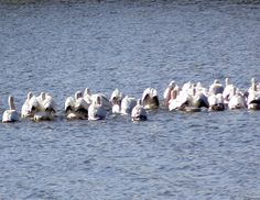 Pelican Stop Over - Lake Isabel, Hastings, MN