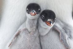 Baby Gentoo penguins!