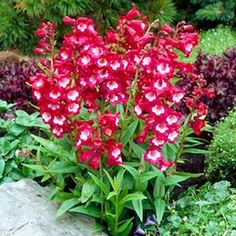 Penstemon 'Tubular bells wine red with white throat'