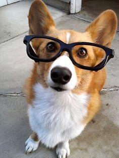 corgi with glasses.