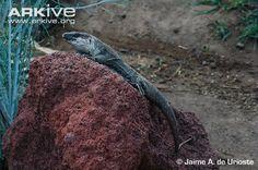 Endangered Species of the Week: La Gomera giant lizard