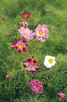 Seashell cosmos $1.00 and easily grown from seed