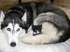 A teeny little tuxedo kitty found a new mom, a big Siberian husky who looked after and nursed her as her own.