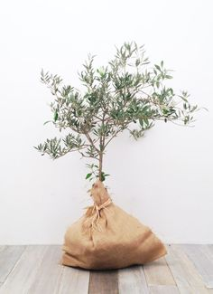 olive tree propagation.