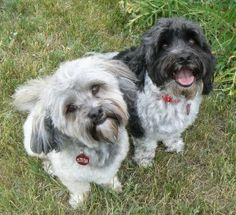 Gus & Mikey in Colorado are Available for Adoption from HRI - July 2014 - See https://www.facebook.com/Havaneserescue/photos/a.147202781997479.41503.114120341972390/800238340027250/?type=1&theater and http://www.havaneserescue.com/index.php/our-rescue-dogs/available-for-adoption/1248-gus-and-mikey-in-co
