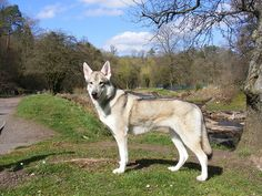 UTONAGAN. A breed I dog bred to look like a wolf. Mix of Siberian husky, German shepherd, and Alaskan malamute! I want!!