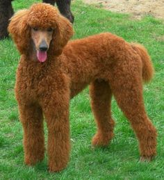 Red poodle love!