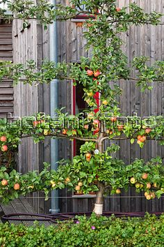 Apple Tree. Espalier? Is that the right name for this?