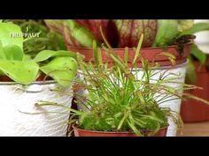 #VIDEO - Découvrez la  #droséra, une plante carnivore appelée 'rosée du soleil' en référence à son feuillage !
