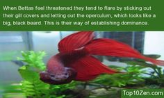 how to know if a betta fish is hungry