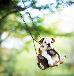 Is there anything cuter than a bulldog on a swing?