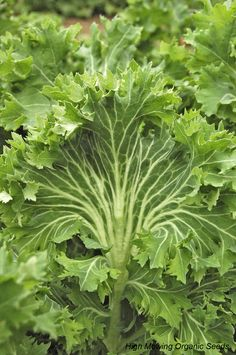 Organic Kale! So good for you! (pictured is the variety Siberian Kale)