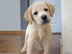 anim, little puppies, golden retrievers, cutest dogs, pet