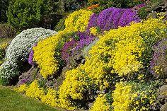 SuperStock - Basket of Gold, Evergreen Candytuft, Purple Aubrieta cascade over sunny rock wall [Aurinia saxatilis; Iberis sempervirens; Aubrieta deltoides]. Spokane, Manito Park, WA.