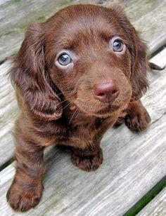 chocolate long haired miniature dachshund -