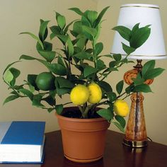 Dwarf Meyer Lemon trees are hardy, fragrant plants that grow well as an indoor household potted plant.