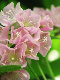 Dombeya wallichii is a flowering shrub of the family Malvaceae known by the common names pinkball, pink ball tree, and tropical hydrangea.