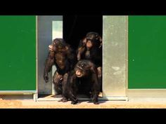 Chimpanzees Released After 30 Years Of Testing. Brace Yourself For Smiles and tears of joy - their hug when they realized they could actually go out was precious.
