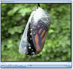 Watch a video of a Monarch butterfly as it hatches from its chrysalis.
