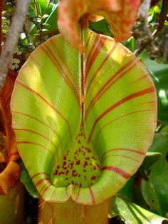 carnivor plant
