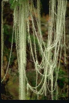 """Usnea longissima, or """"Methuselah's beard lichen"""", hanging from a Douglas-fir (Pseudotsuga menziesii) in the Oregon Cascades. This is easily the longest lichen in the world.    It is extremely sensitive to air pollution and has vanished from most of Europe. Even in the Pacific Northwest, where one occasionally sees good stands of it, it has strict habitat requirements, is slow to grow or to spread, and it should never be collected.    Usnea longissima was used for bedding and pillow stuffing in places as far apart as the Simla Hills of India and British Columbia, Canada, and it may have been the original Christmas tree tinsel.  With names translating as """"pine gauze"""" and """"Lao-tzu's beard,"""" it was described in the earliest Chinese herbal, from about 500 A.D.  Photograph copyright Stephen/Sylvia Sharnoff"""