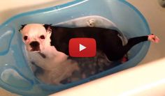 Watch this Boston Terrier Chillin in his Little Tub! ► http://www.bterrier.com/?p=26127