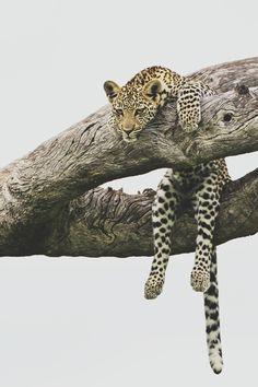 even big cats