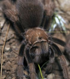 Desert Blonde Tarantula - ©Dancing Snake Nature Photography
